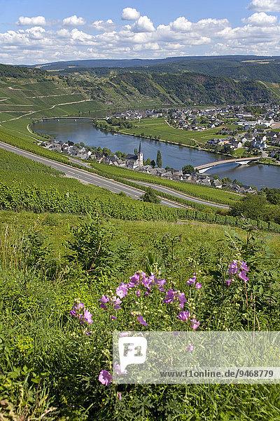 Das Dorf Piesport an der Mosel  Mittelmosel  Rheinland-Pfalz  Deutschland  Europa