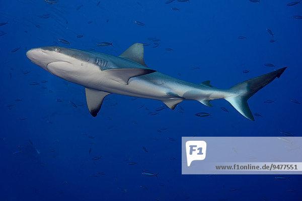 Grauer Riffhai (Carcharhinus amblyrhynchos)  Palau  Mikronesien  Ozeanien
