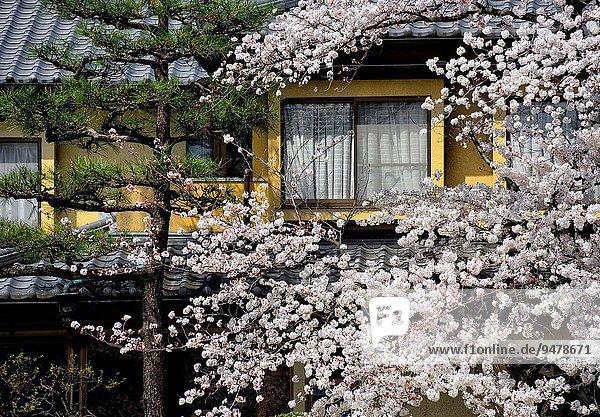 Wohnhaus, Zeit, Garten, Sakura, Asien, Japan, japanisch, Kyoto