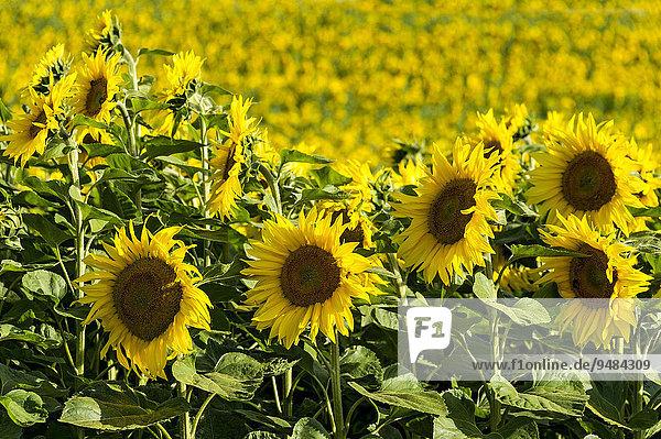 Sonnenblumenfeld,  Altomünster,  Oberbayern,  Bayern,  Deutschland,  Europa