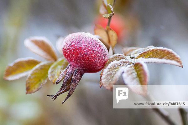 Mit Raureif bedeckte Hagebutte  Hunds-Rose (Rosa canina)  Hessen  Deutschland  Europa