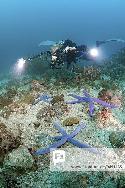 Taucherin fotografiert einen Blauen Seestern (Linckia laevigata)  Boholsee  Philippinen  Südostasien  Asien