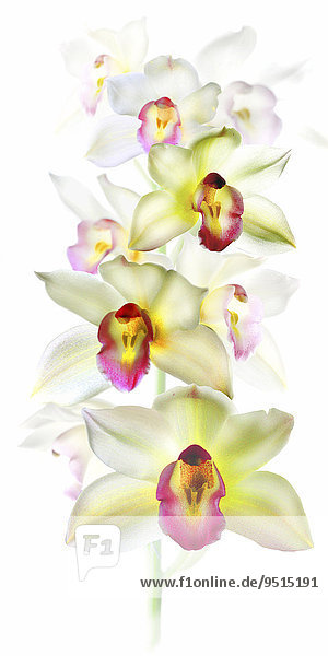Orchidee (Phalaenopsis)  weiß-gelb