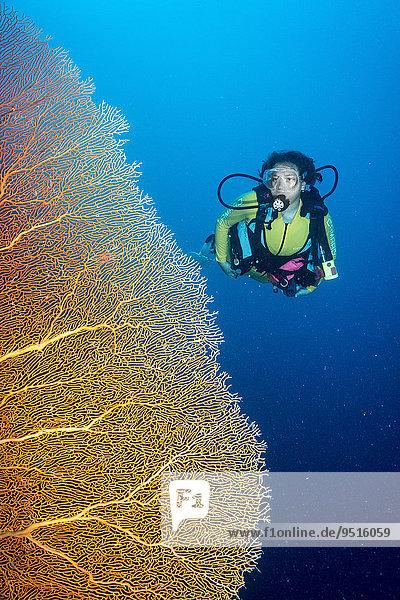 Diver next to a giant fan coral (Annella mollis)  Palau  Oceania