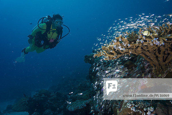 Diver watching a school of Pigmy Sweepers (Parapriacanthus ransonneti)  Palau  Oceania