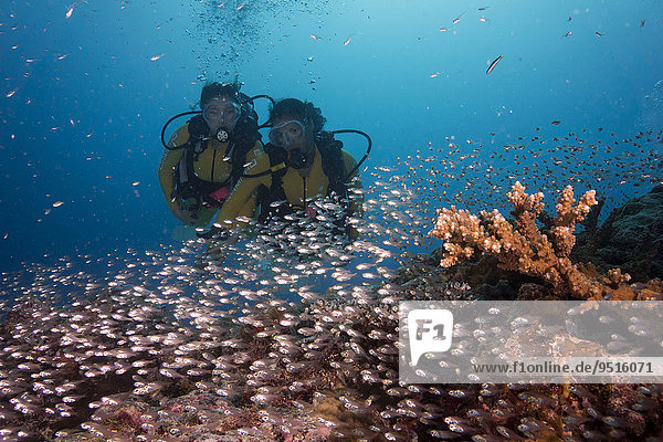 Divers watching a school of Pigmy Sweepers (Parapriacanthus ransonneti)  Palau  Oceania