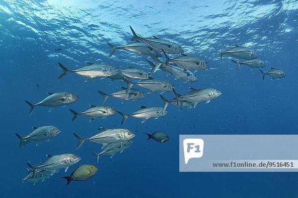 Schwarm Großaugenmakrelen (Caranx sexfasciatus)  Great Barrier Reef  Pazifik  Australien  Ozeanien