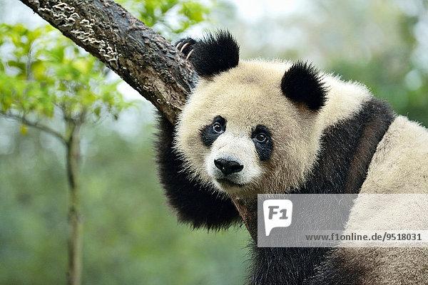 Großer Panda (Ailuropoda melanoleuca) auf Baum sitzend  captive  Forschungszentrum für Pandazucht  Chengdu  Provinz Sichuan  China  Asien Großer Panda (Ailuropoda melanoleuca) auf Baum sitzend, captive, Forschungszentrum für Pandazucht, Chengdu, Provinz Sichuan, China, Asien