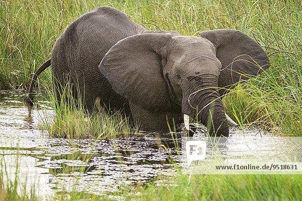 Afrikanischer Elefant (Loxodonta africana) steht in Wasserstelle  Nkasa-Lupala-Nationalpark  Caprivi  Namibia  Afrika