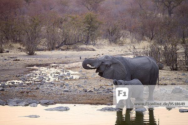Afrikanische Elefanten (Loxodonta africana)  Muttertier mit Jungtier trinkt an einer Wasserstelle am Abend  Etosha-Nationalpark  Namibia  Afrika