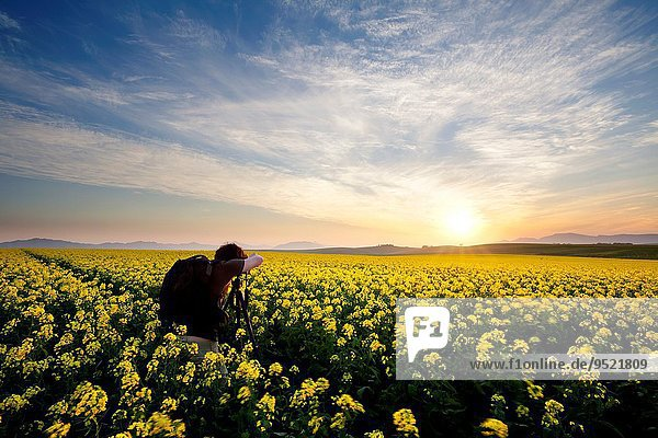 Landscape photo of a photographer capturing a sunset in a canola field. Overberg  Western Cape  South Africa.