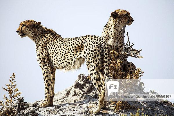 Botswana  Okavango Delta  zwei Geparden auf der Suche nach Beute