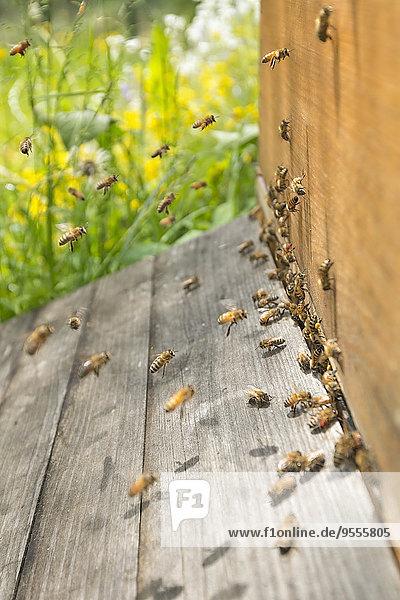 Deutschland  Baden-Württemberg  Überlingen  Bienenschwarm an der Bienenkiste Deutschland, Baden-Württemberg, Überlingen, Bienenschwarm an der Bienenkiste