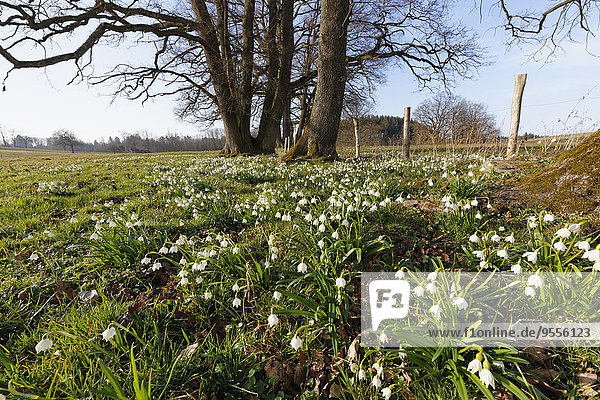 Deutschland  Oberbayern  Eurasburg  Frühlings-Schneeflockenblume  Leucojum vernum