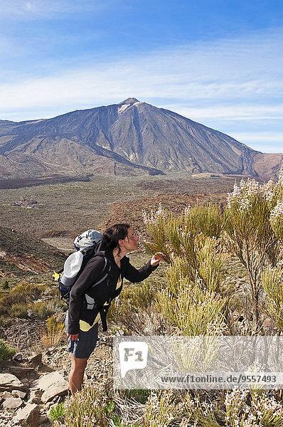 Spanien  Kanarische Inseln  Teneriffa  Los Roques de Garcia  Teide  Teide Nationalpark  Weibliche Wanderer riechen Retama del Teide  Cytisus supranubius