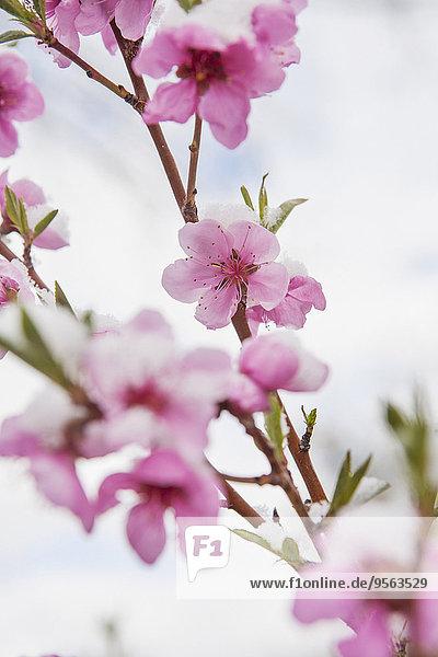Vereinigte Staaten von Amerika USA bedecken Close-up blühen Pfirsich Schnee
