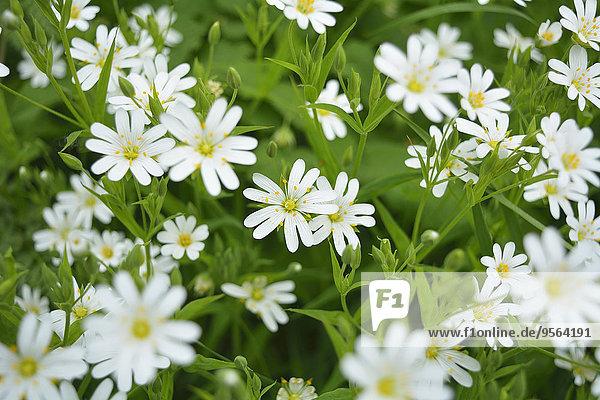 Blume Close-up Filziges Hornkraut Cerastium tomentosum Deutschland Hessen