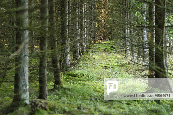 Landscape of a Norway spruce (Picea abies) forest in the summer  Upper Palatinate  Bavaria  Germany