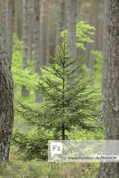 Fichte Tanne Baum Wald Norwegen Kiefer Pinus sylvestris Kiefern Föhren Pinie Bayern Deutschland Oberpfalz