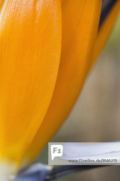 Detail der Orangenblütenblätter