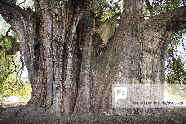 Riesige Montezuma-Zypresse