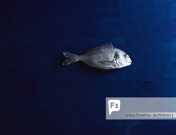 Direkt über dem Schuss der rohen Meerbrasse auf blauem Tisch