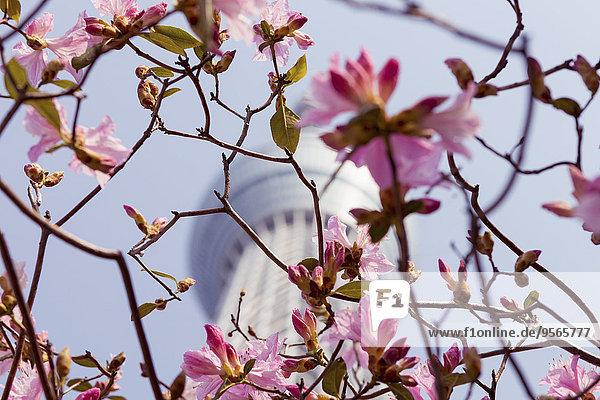 Niederwinkelansicht der Kirschblütenzweige gegen den Tokyo Skytree