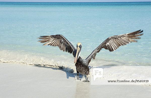 Pelikan hebt vom Meer ab