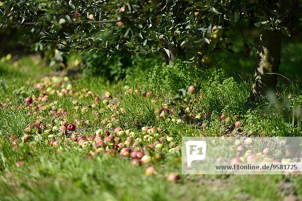 arbeiten Apfelwein