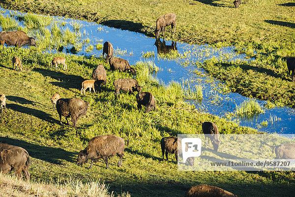 nahe Herde Herdentier Feld Bach Büffel Wiese grasen