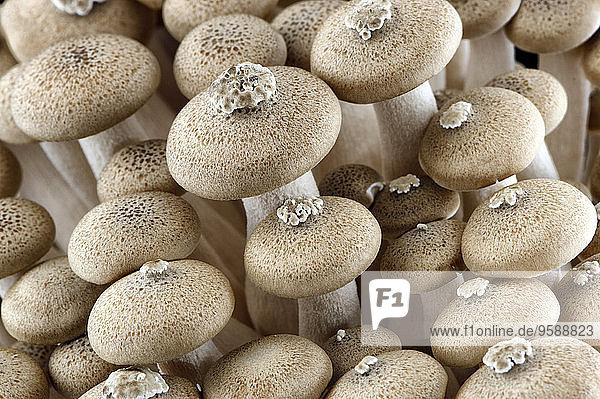 Shimeji-Pilze  Nahaufnahme