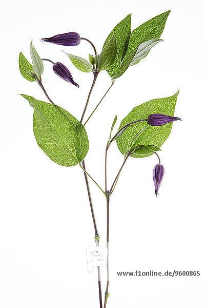 Blume weiß lila Knospe Hintergrund