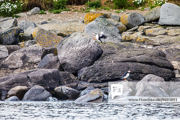 Ufer Papageitaucher Fratercula arctica Island