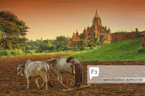 Myanmar  peasant on field in front of archaelogical site of Bagan