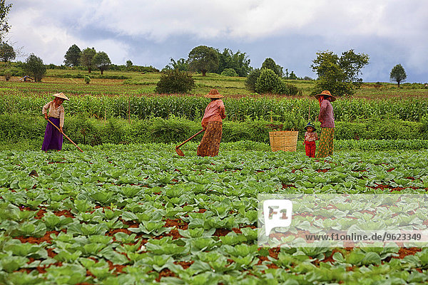 Myanmar  Kalaw  women working on field
