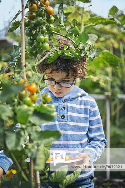 Junge pflückt Kirschtomaten auf Zuteilung