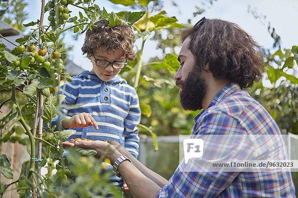 Vater und Sohn zählen gepflückte Kirschtomaten auf Zuteilung