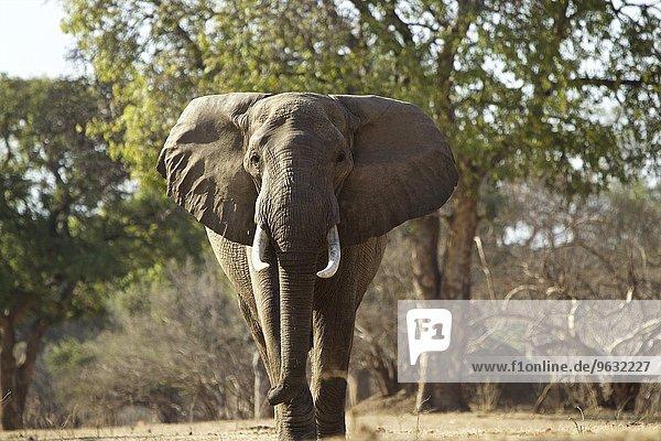 Afrikanischer Elefantenbulle (Loxodonta africana)  Mana Pools  Simbabwe  Afrika.