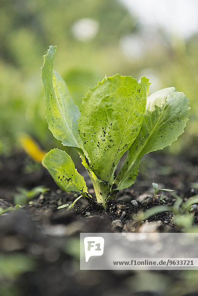 Lettuce young earth close-up vegetable garden