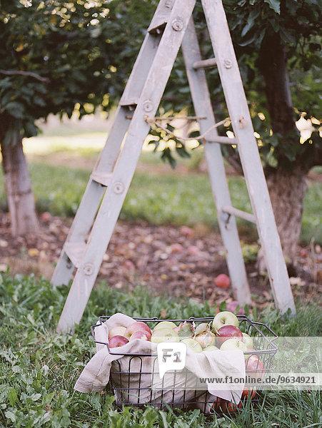 stehend Leiter Leitern Korb Obstgarten Apfel Utah
