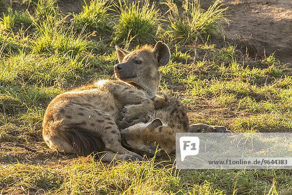 Tüpfelhyänen (Crocuta crocuta)  Ishasha  Queen-Elizabeth-Nationalpark  Uganda  Afrika