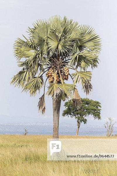Äthiopische Palmyrapalme (Borassus aethiopum)  Murchison-Falls-Nationalpark  Uganda  Afrika