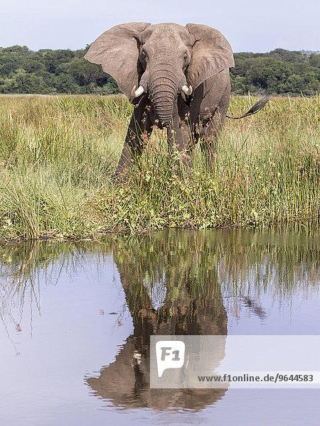 Afrikanischer Elefant (Loxodonta africana)  Murchison-Falls-Nationalpark  Uganda  Afrika