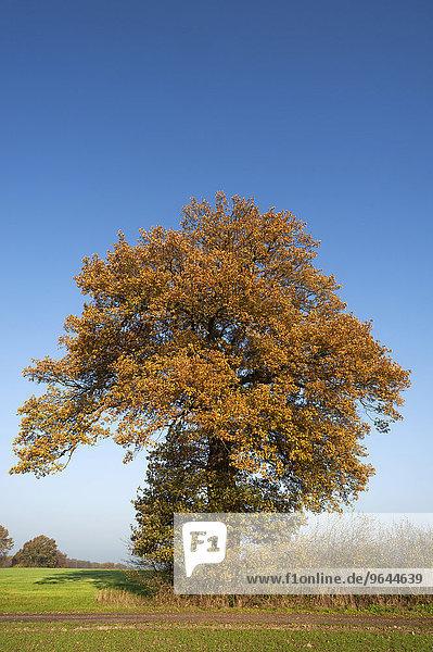 Großer Eichenbaum (Quercus) im Herbstlaub gegen blauen Himmel  Mecklenburg-Vorpommern  Deutschland  Europa