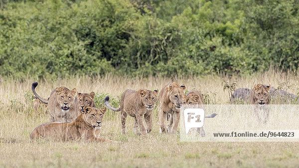 Löwen (Panthera leo)  Queen-Elizabeth-Nationalpark  Uganda  Afrika