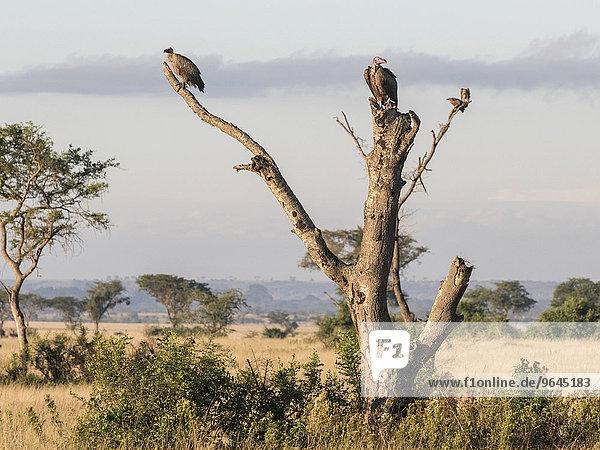 Weißrückengeier (Gyps africanus) und Ohrengeier (Torgos tracheliotus) sitzen auf einem abgestorbenen Baum  Ishasha  Queen-Elizabeth-Nationalpark  Uganda  Afrika