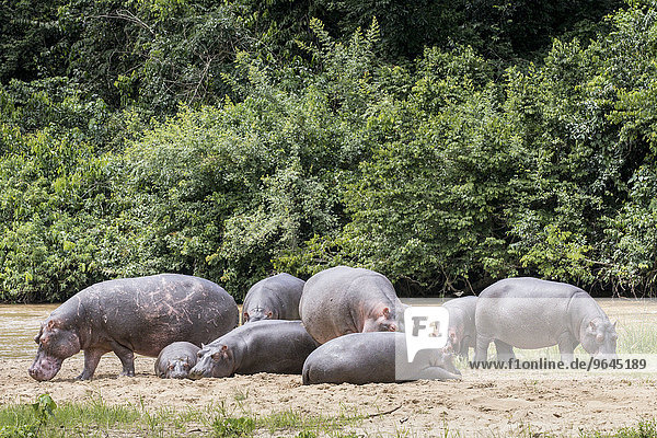 Flusspferde (Hippopotamus amphibius)  Queen-Elizabeth-Nationalpark  Uganda  Afrika