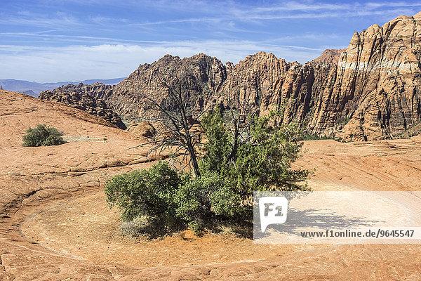 Busch inmitten einer ausgetrockneten Lacke  Snow Canyon  Dammeron Valley  Utah  USA  Nordamerika