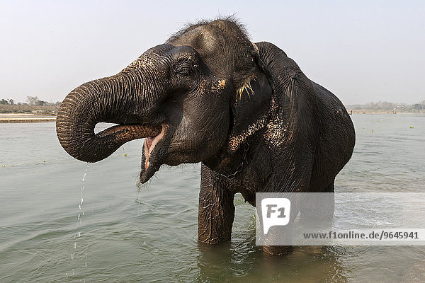 Elefantenbad  Elefant im East Rapti River  bei Sauraha  Nepal  Asien