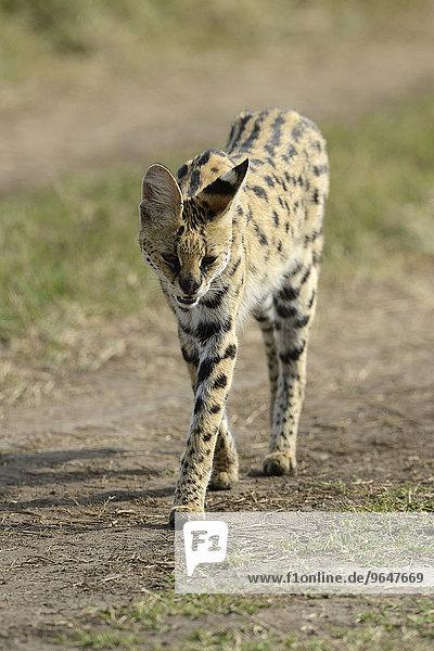 Serval (Leptailurus serval)  Weibchen  gehend  Masai Mara  Kenia  Afrika